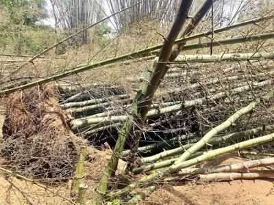 Govt ayes Rs 25 crore to boost private bamboo cultivation | Nagpur
