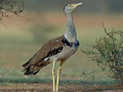 Over Rs 33 crore project to save endangered great Indian