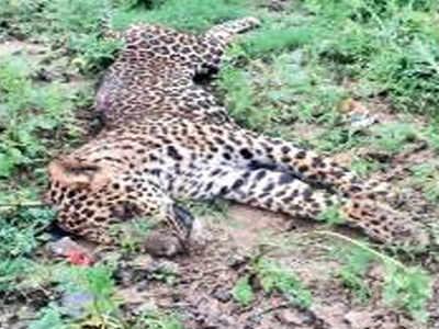 Leopard carcass found near Kalesar sanctuary | Gurgaon News