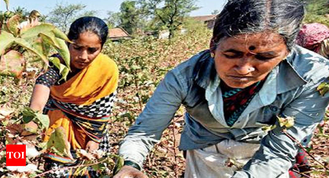 Cotton yield tanks to decadal low in Gujarat