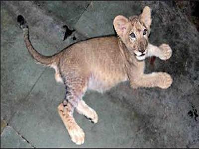 DNA test points at lion cub's Asiatic origin   Kolkata News
