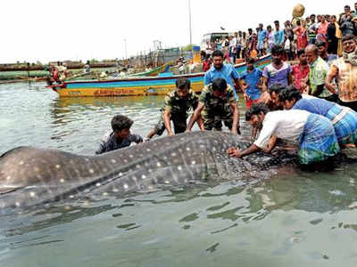 All hands on deck for a fish | Chennai News - Times of India