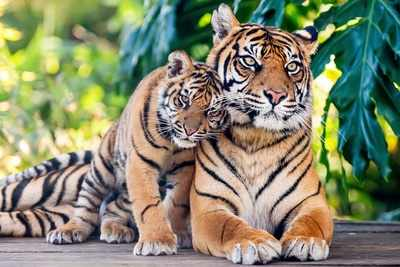 India home to 2967 tigers, more than 70% of wild tigers that
