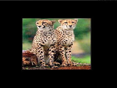 Cheetahs to run again in jungles of Madhya Pradesh | Bhopal
