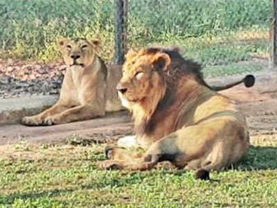 Mohali: Chhatbir to get pair of Asiatic lions, white tigers