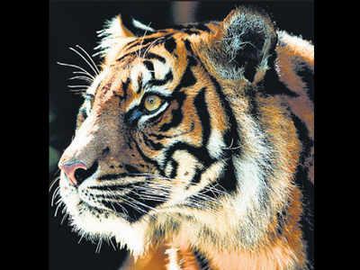 Kumbhalgarh may soon become home for big cats | Jaipur News