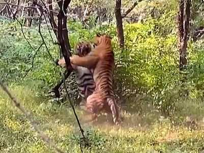 Viral video: Two male tigers are fighting like adults