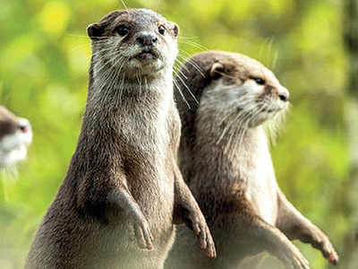 Image result for Fishermen to be compensated for saving smooth-coated otters""