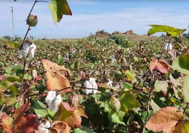 Mobile app to identify and manage sucking pest infestation on cotton being developed