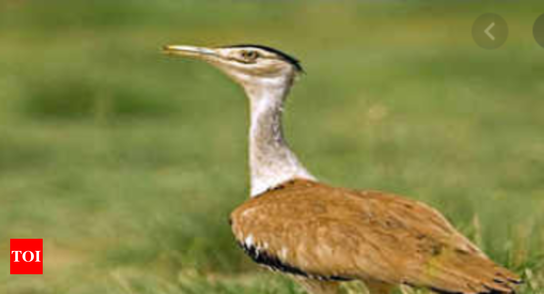To protect Great Indian Bustard, Environment Ministry to declare their habitats as conservation reserves