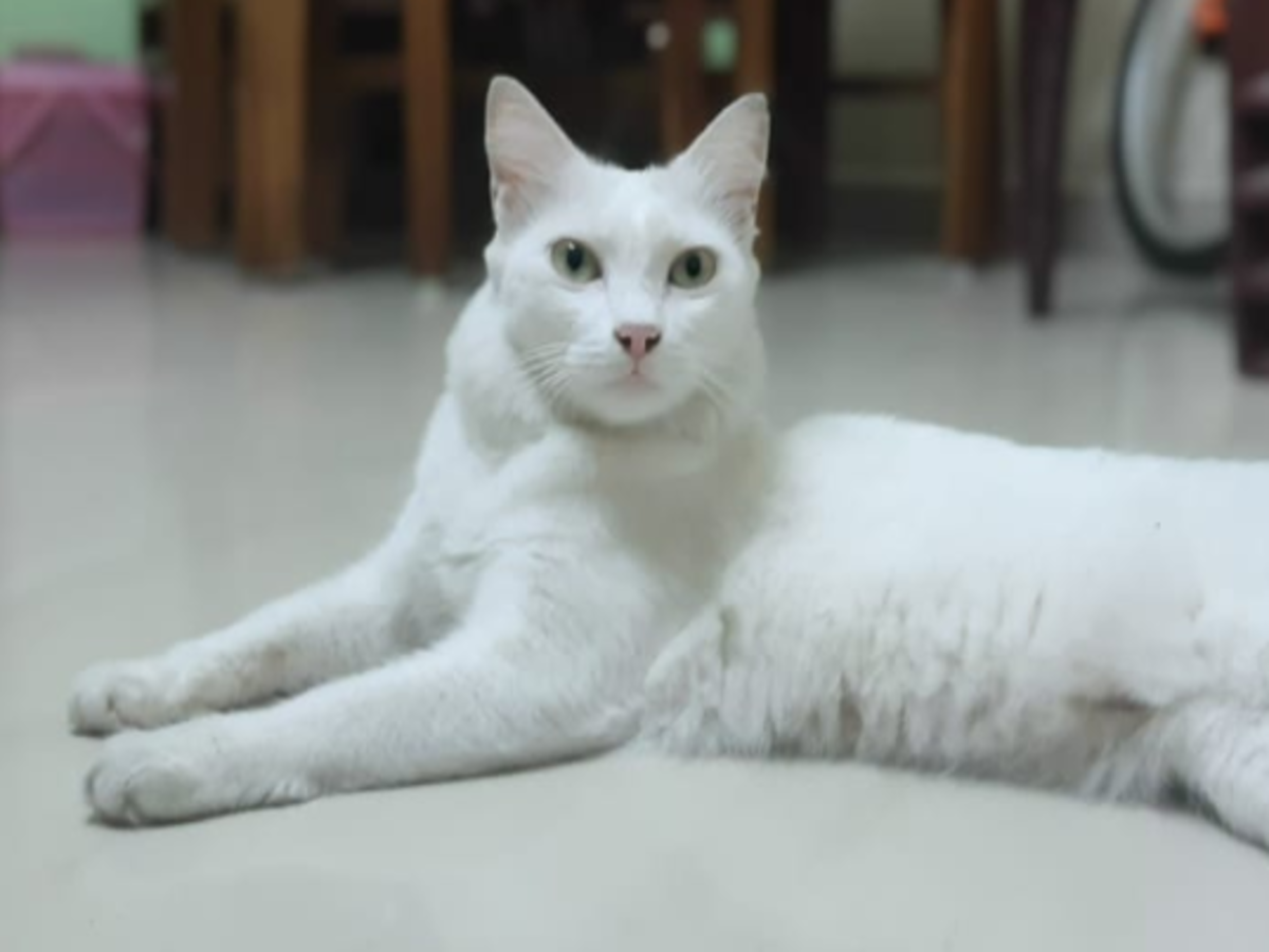 Coimbatore To Host Tn S First Cat Show Cat Fashion Show Coimbatore News Times Of India