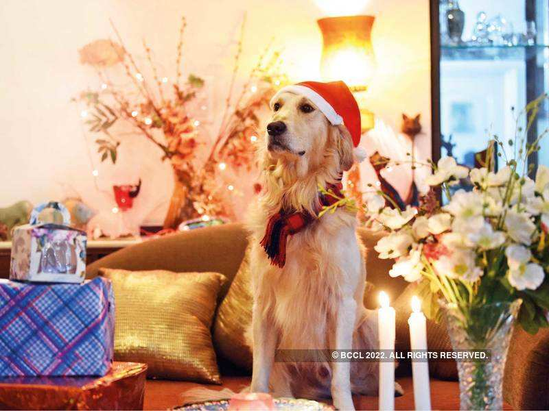 Pet parents Vishal and Rashmi Handa have bought special gifts for their three-year-old golden retriever, Sunny Boy