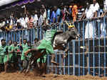 Best pictures from traditional bull-taming sport Jallikattu