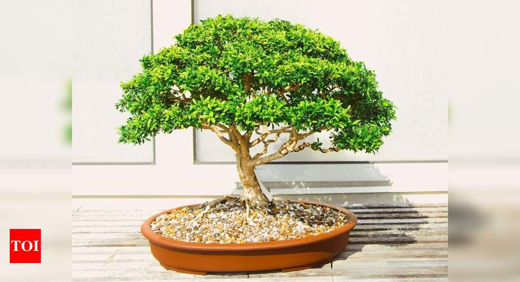 Bonsai Tree A Fascinating Sculptural Plant For Your Garden Most Searched Products Times Of India