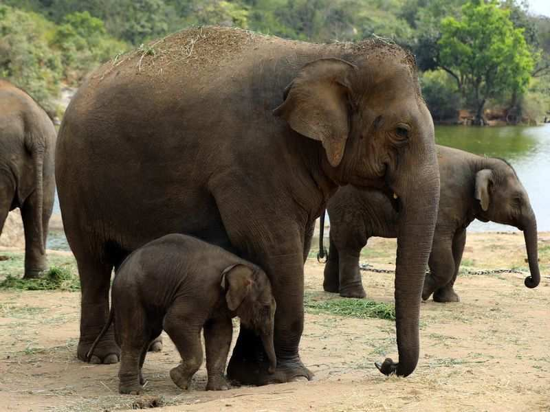 Bannerghatta's new baby elephant named after Tulasi Gowda