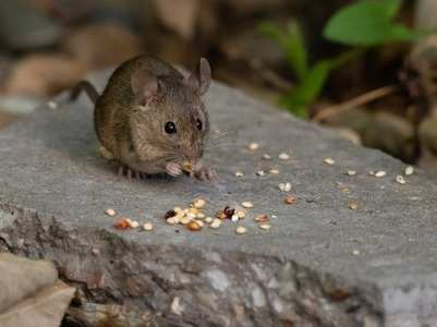 Hantavirus: Why coronavirus-like pandemic is not possible