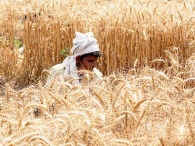 Panchkula farmers allowed to visit fields for harvesting ...