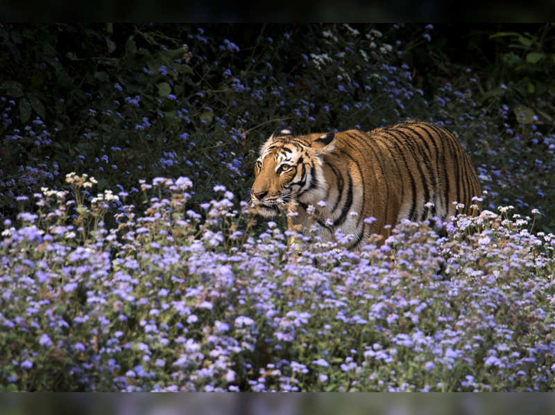Corbett Tiger Reserve sets up country's first quarantine wards for animals to prevent COVID-19 spread