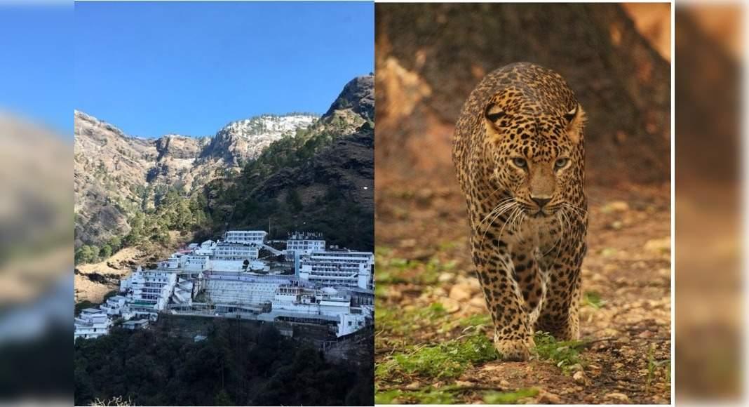 Leopard pays a visit to Vaishno Devi shrine; gets captured