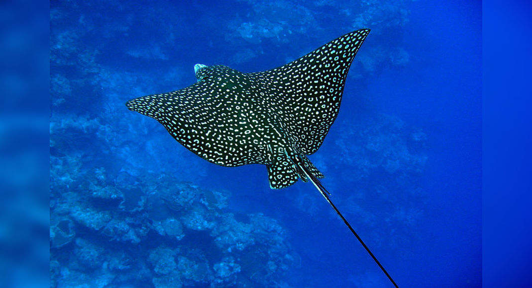 An extraordinary rare eagle ray spotted in the Great Barrier Reef after 45 years!, Australia