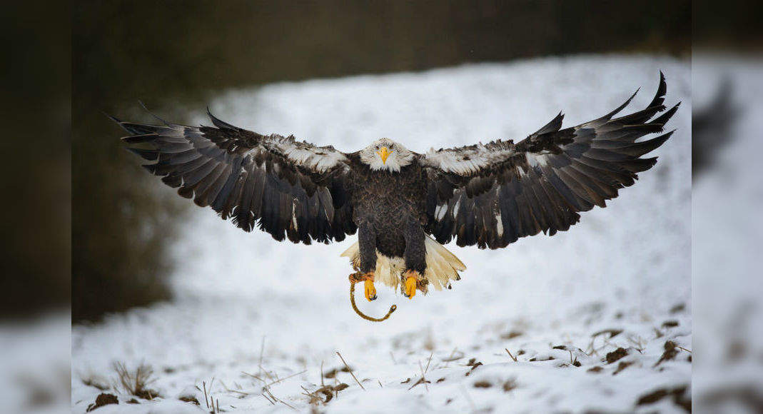 Britain's largest bird of prey, white-tailed eagle, returns home after 240 years!, England