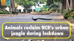 Animals reclaim NCR's urban jungle during lockdown