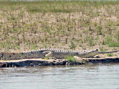 Highly sensitive to pollution, gharials flourish in Beas in Covid ...