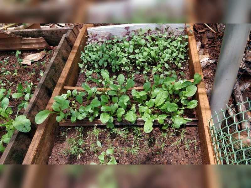 Goans have now started planting veggies since lockdown