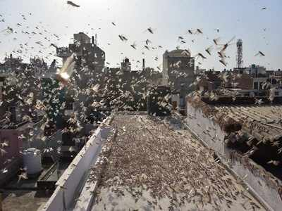 After Jaipur, locusts could invade Delhi; alert sounded