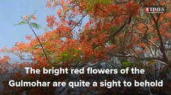 No more Gulmohar's to be planted