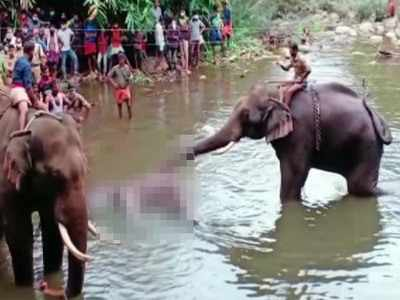 Elephant Died in Kerala 2020: Won't spare pregnant elephant's ...