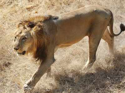 File photo: Asiatic lion at Kankaria zoo in Ahmedabad