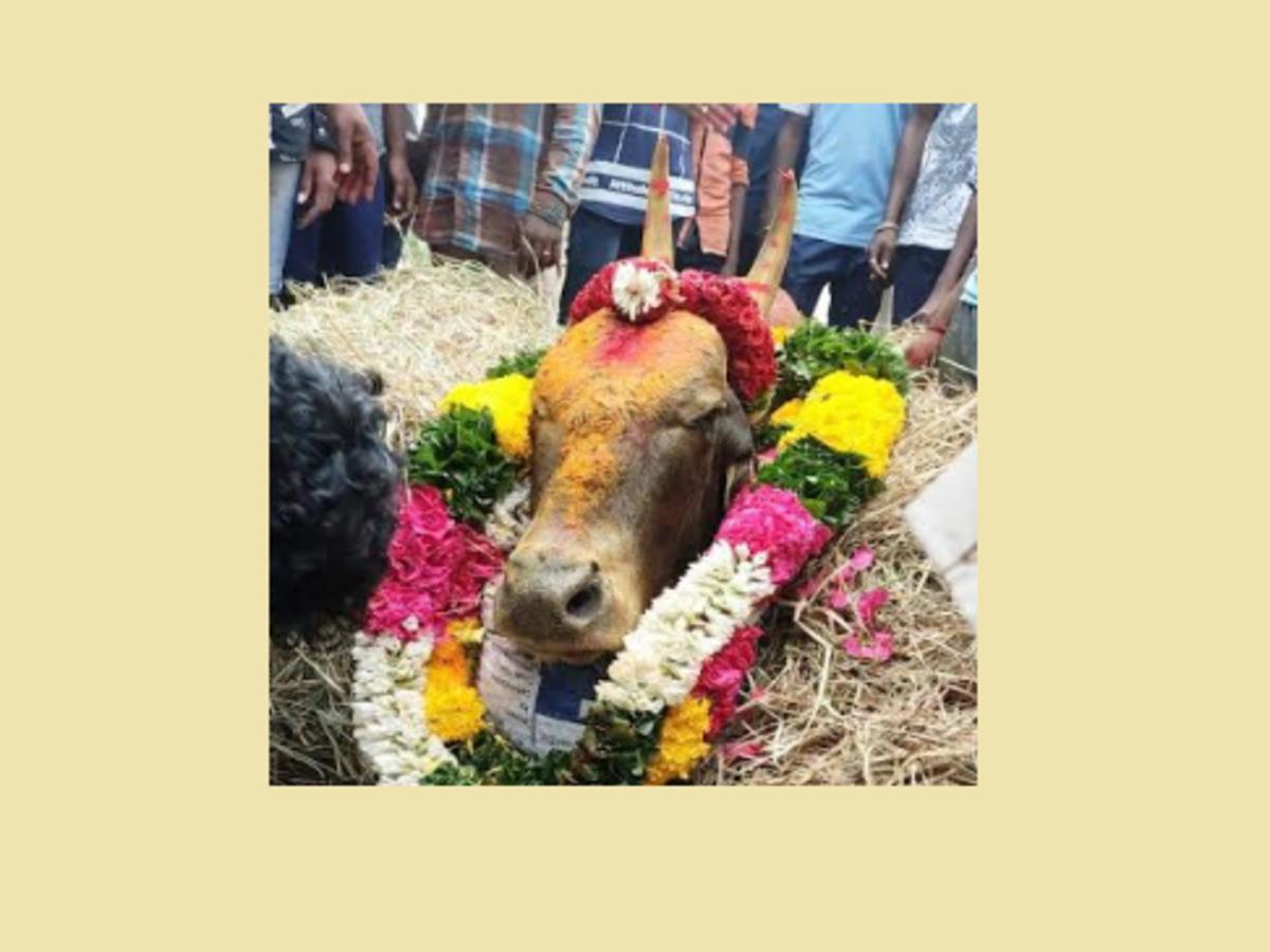 Drunk Men Stone Jallikattu Bull To Death In Tamil Nadu Chennai News Times Of India Tamil nadu puthandu tamils tamil calendar jallikattu, jallikattu png clipart. drunk men stone jallikattu bull to