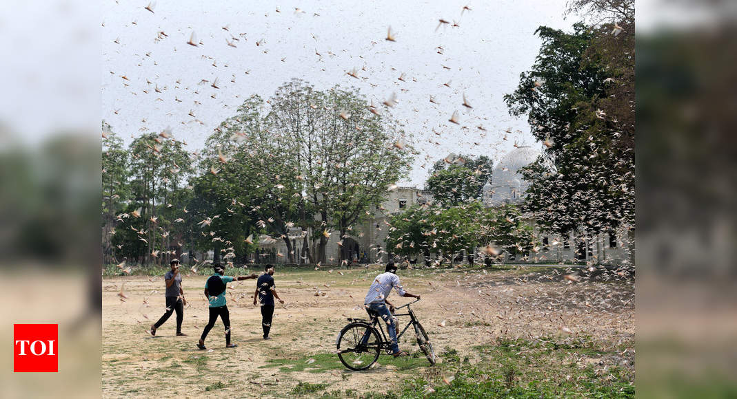 Locust menace: FAO asks India to be on excessive alert for subsequent Four weeks | India Information – Occasions of India