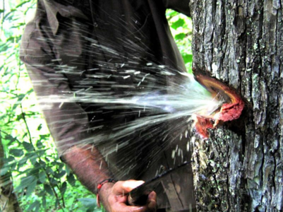 This south Indian tree can store water in dry season