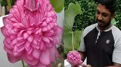 Green living: A rare 1000 petal lotus blooms in Tripunithura, Kerala