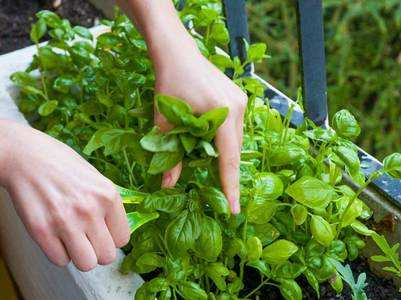 Herbs you can grow in your kitchen garden