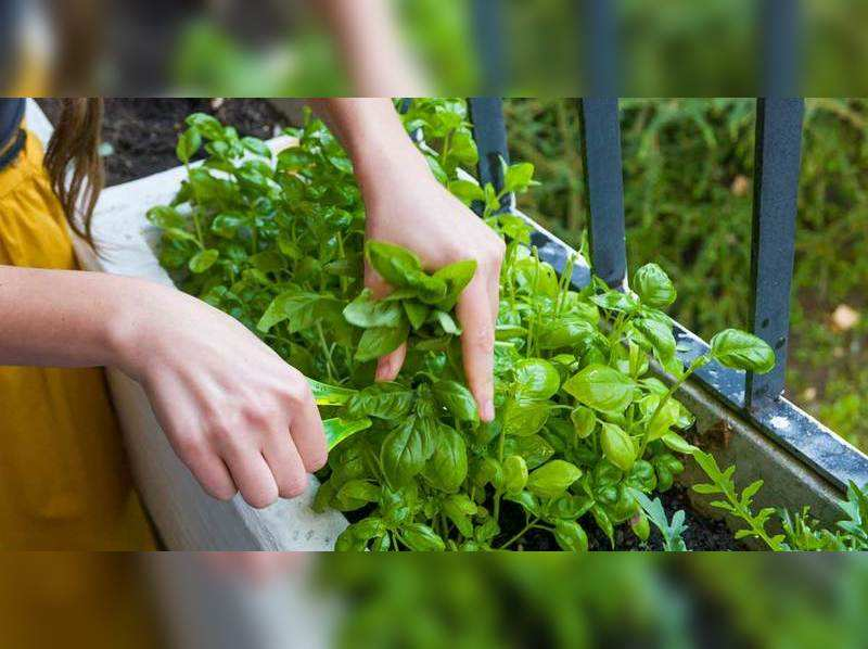 A beginner at gardening? Herbs you can easily grow in your kitchen garden