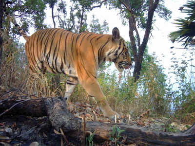 At 2,967 tigers, India's capacity at peak