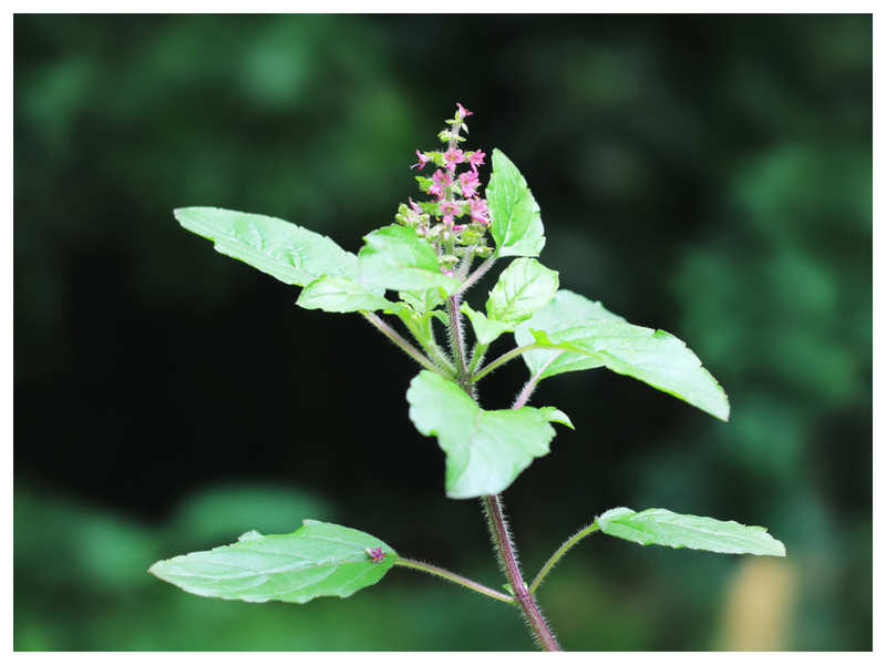 Types of Tulsi and the best way to use them for immunity and weight loss