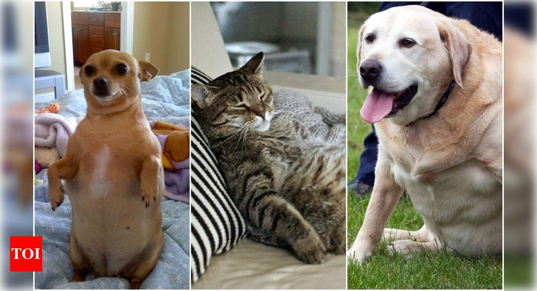 Pet weight: Is your pet struggling with quarantine weight gain?