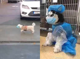 Viral video: A dog wearing a mask for daily walks has left netizens in splits