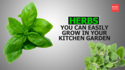 Herbs you can easily grow in your Kitchen Garden