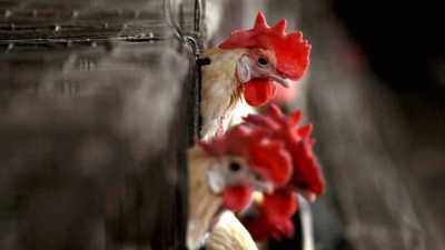 Bird flu: Mumbai civic body issues guidelines