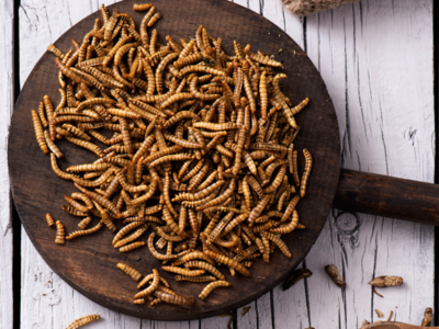 Yellow Grub or Mealworms are fit for human consumption: EFSA