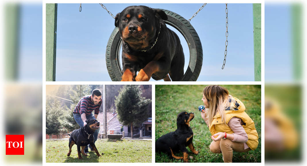 Are Rottweilers unsuitable as pets? Experts weigh in