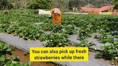 Strawberry farm in South Goa