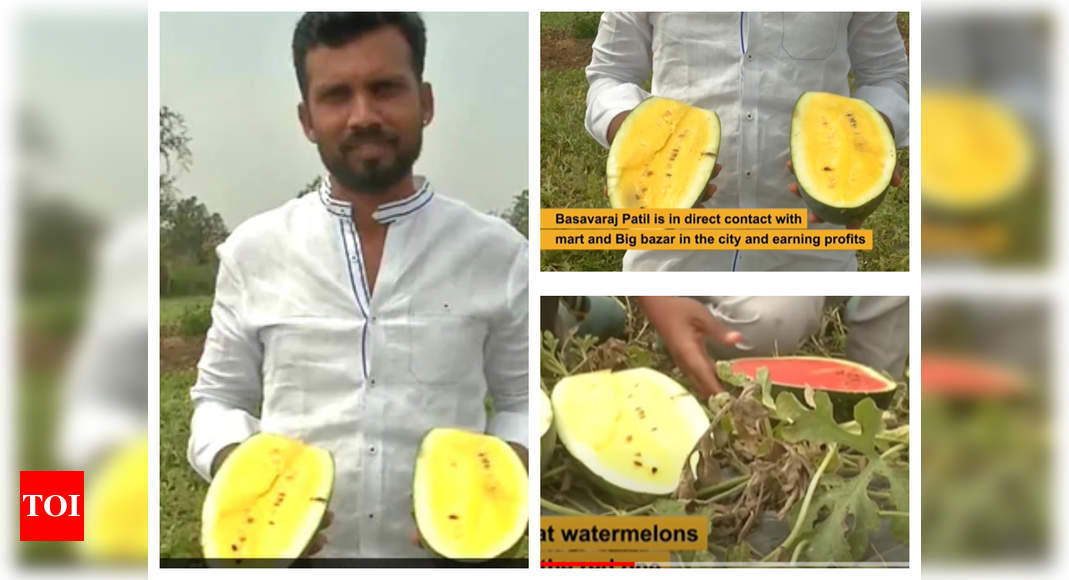 Indian farmer cultivates yellow watermelon