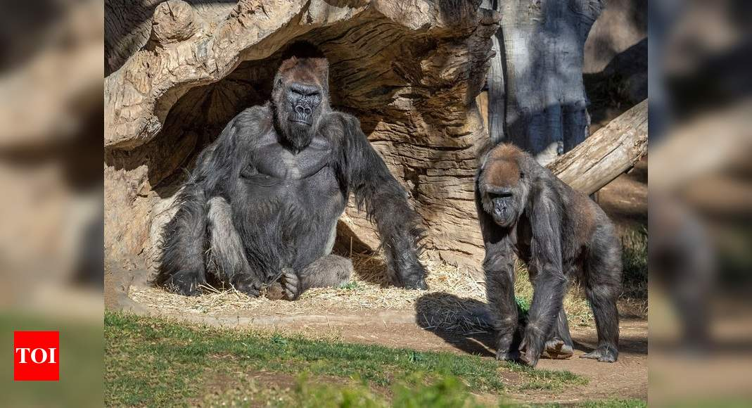 9 great apes become first non-human primates vaccinated for Covid-19