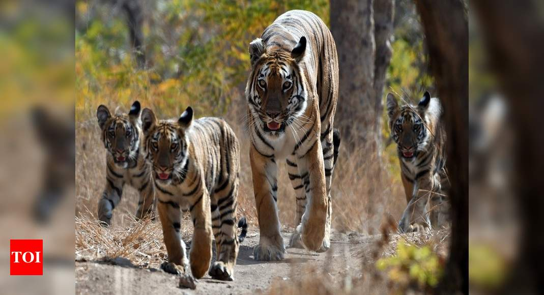 Tigress found dead in Pilibhit reserve – Times of India